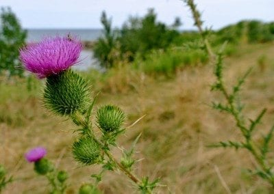 RichardBH Suivre- Scotch Thistle - At Fifty Point - for photography entry at Ancaster Fair