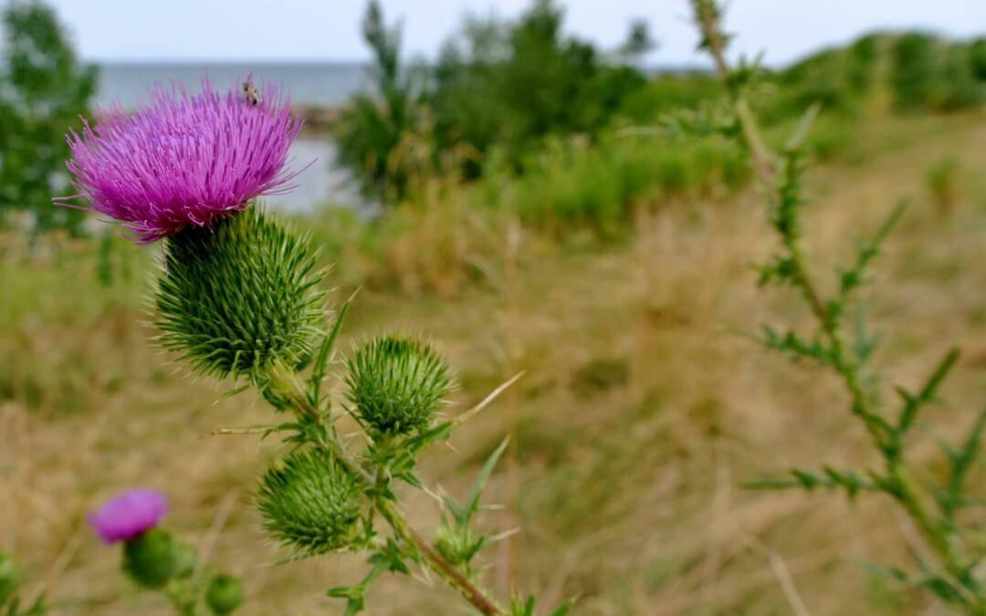 The Thistle Symbol Of Scotland Inlingua Edinburgh